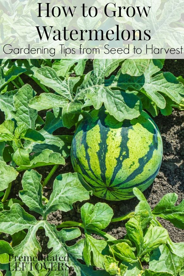 How to Grow Watermelon - Tips for growing watermelon, including how to plant watermelon seeds and watermelon seedlings, and how to harvest watermelon.