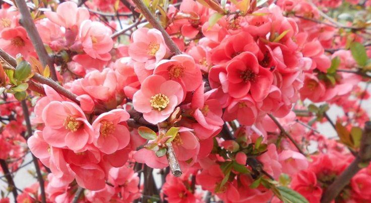 rózsaszin mámor