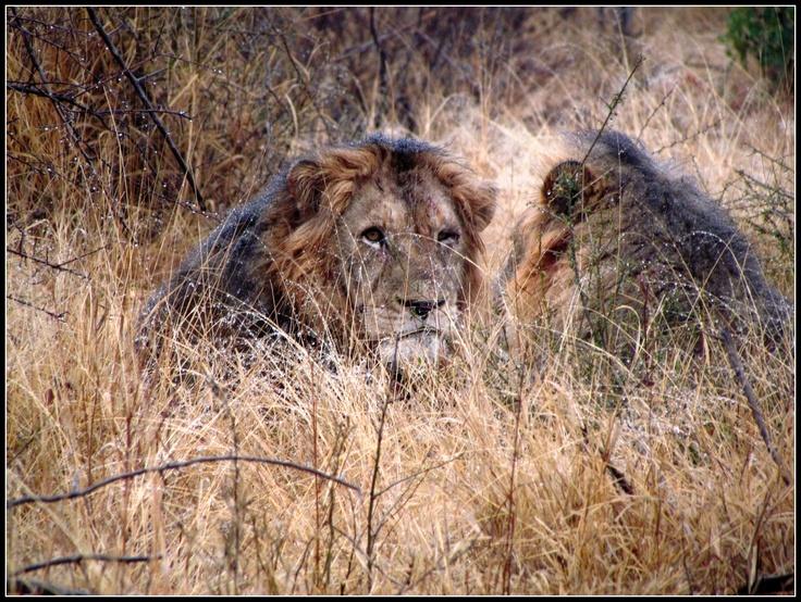 Lions in Kruger Park near Satara restcamp in South Africa