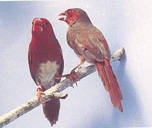 Australian Finch Society - Crimson Finch