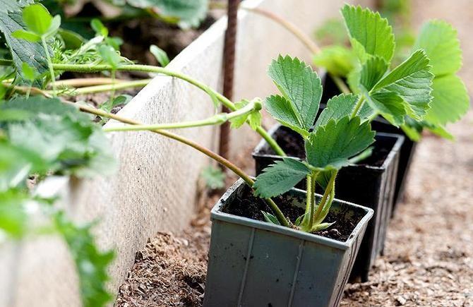 Ражмножение клубники усами для получения качественной рассады. Советы садоводов, как правильно размножить клубнику с помощью усов. Размножение клубники: правила и рекомендации.