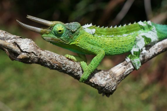 Jackson's Chameleon male on branch by BottegaDesigns on Etsy