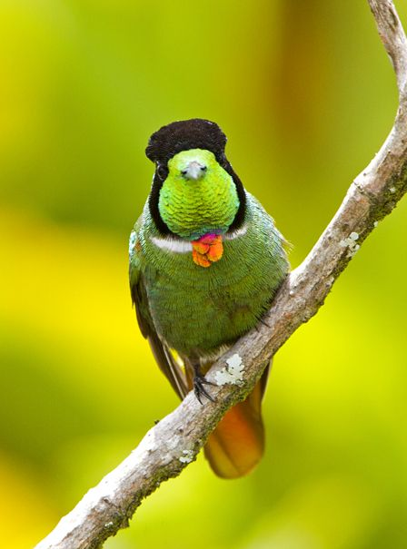 Foto beija-flor-de-gravata-vermelha (Augastes lumachella) por Ciro Albano | Wiki Aves - A Enciclopédia das Aves do Brasil