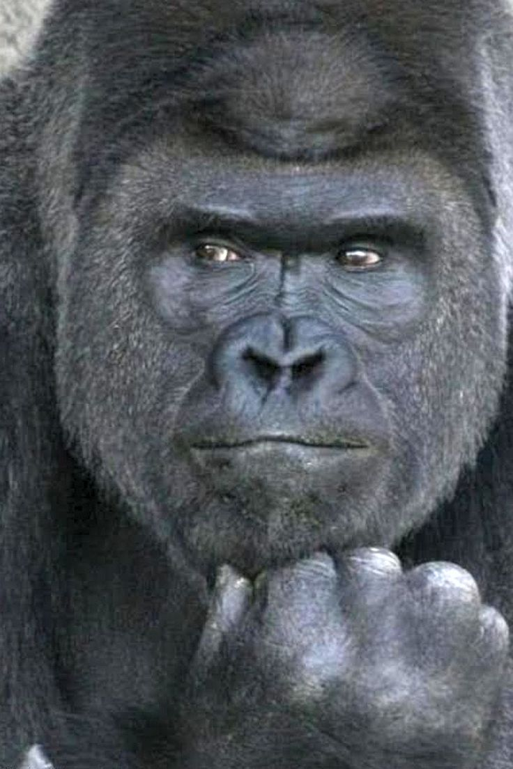 Animal kingdom coloring book gorilla - Meet The Handsome Gorilla Driving Japanese Women Wild