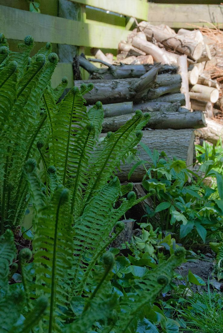 Bregner vokser på den mest skyggefulde plads i haven og de er smukke, når de ruller deres blade ud.
