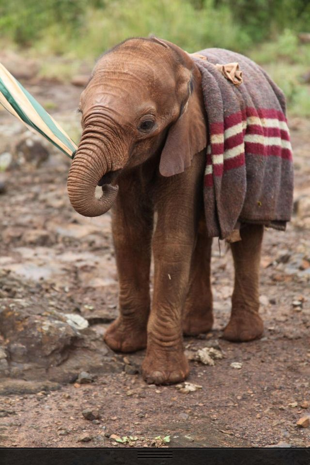Support #DSWT Elephant orphan at The David Sheldrick Wildlife Trust