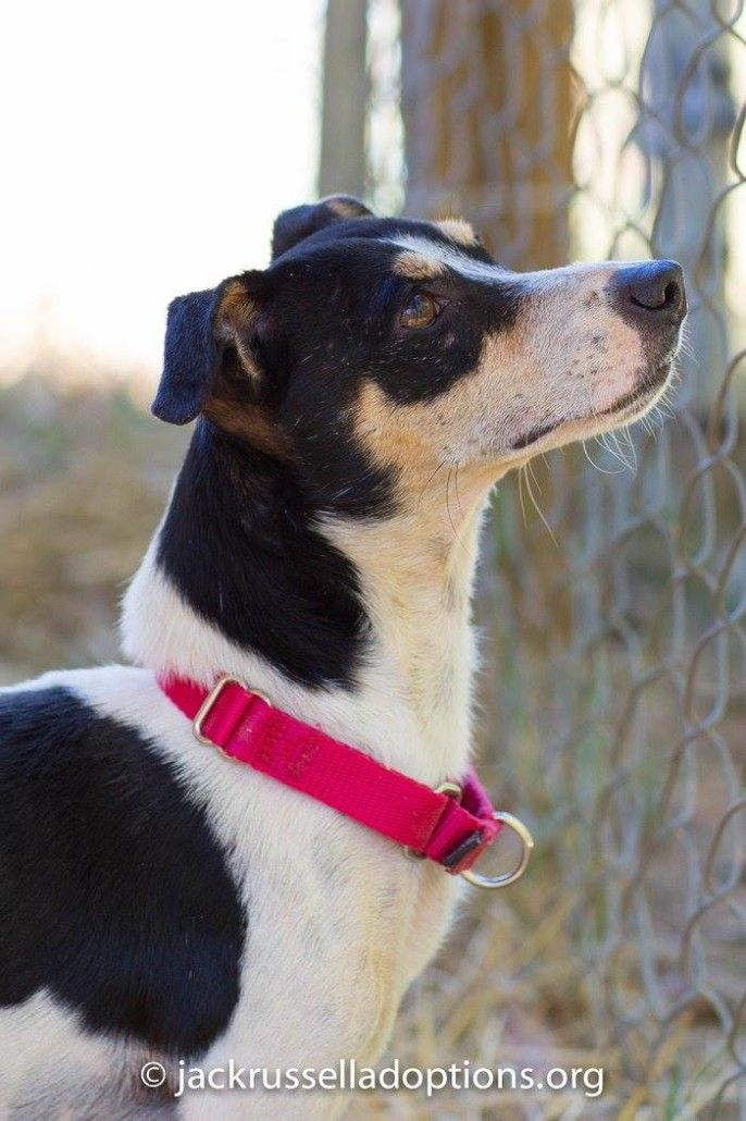 Georgia Jack Russell Rescue, Adoption and Sanctuary | Adoptable Rat Terrier Mix, Ross #adopt #dog