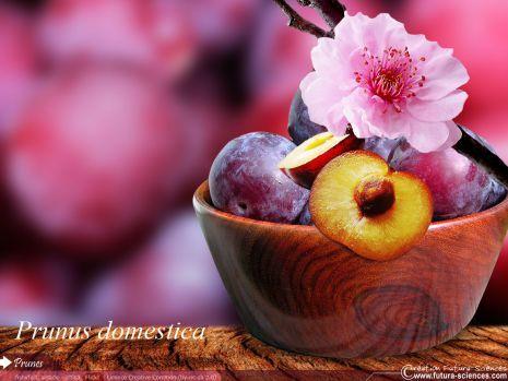 """Fond d'écran """"Prune de la fleur au fruit"""""""