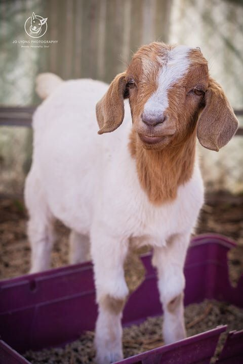 Last post tonight... this baby goat needs to find a home by tomorrow... her name is Lollipop and she is a sweet and curious little girl. She's befriended the two sheep and the pony... do you know someone who could give this darling girl a happy and long l