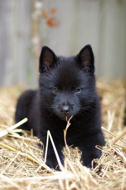 Schipperke puppy! Love those almond shaped eyes. One of the many unusual traits of the breed.