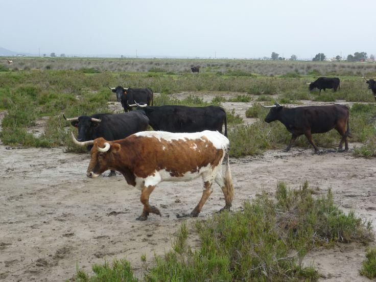 Ramat de bous a prop de la mar.