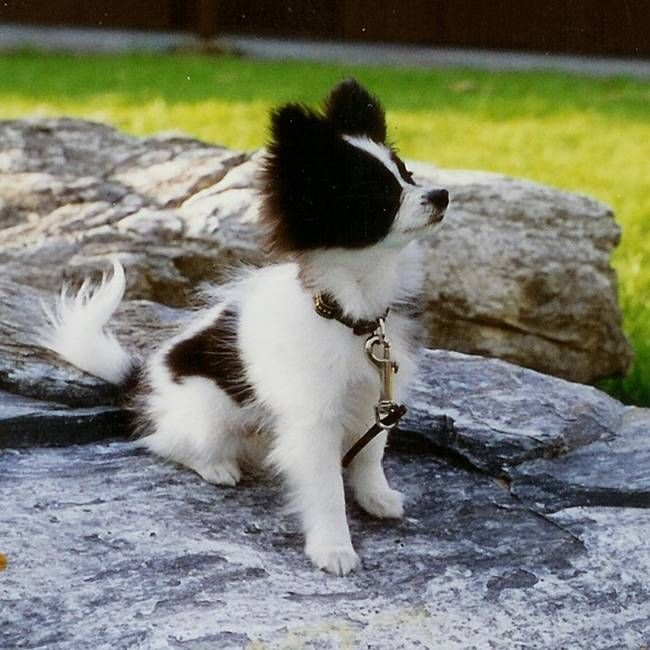 Quot Black And White Papillon Puppy Quot By Towal Jacobsen