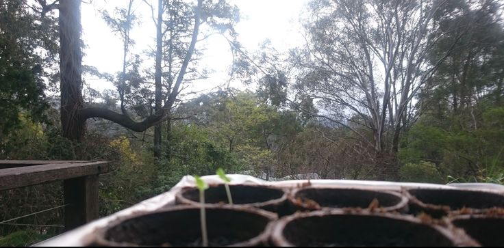 Some of our first seedlings, and the view from the workshop deck, these are Ghost Chilli...
