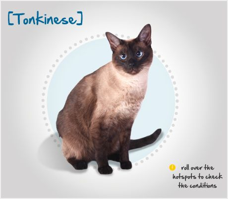 Did you know the beautiful Tonkinese cat is the result of cross-breeding between Siamese and Burmese cats? Read more about this breed by visiting Petplan pet insurance's Condition Checker!