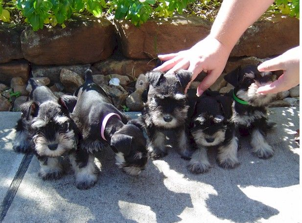 Lone Star Schnauzer Country puppies which are just outside out Houston! silver and black...the new puppy must look different