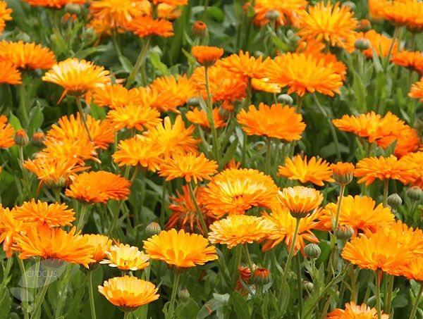 One of our favourite annuals in the cutting garden - Calendula officinalis. It's easy and quick to grow and the flowers last well after being cut