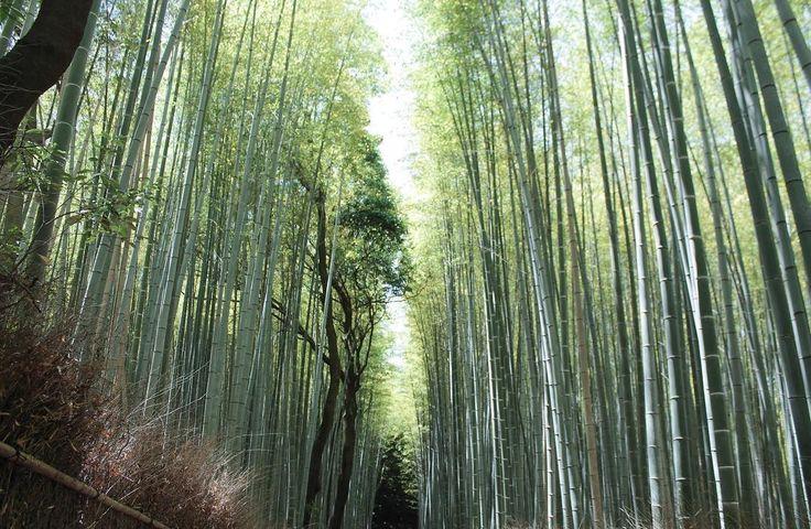 嵐山の竹林朝早くここを見た後に嵯峨野に行くのが好きです #kyoto #arashiyama #bambooforest #banboo #kyotostyle #japan #trip #travel #kyototrip #京都 #嵐山 #竹林 #竹林の道 #竹林の小径 #竹 #緑 #旅 #旅行 #京都旅行