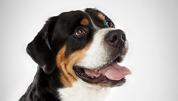 The Greater Swiss mountain dog is a sensitive, loyal and extremely devoted family companion. It is calm and easygoing, very gentle with children as well as other pets. It is territorial, alert, bold and vigilant.