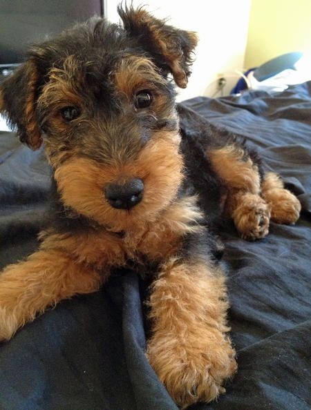 "Gus the Welsh Terrier: ""God loves a terrier."" Even he cannot resist that face. And those cute feets!"
