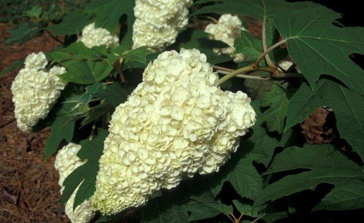 Hydrangea quercifolia «Harmony». Гортензия дуболистная «Harmony»