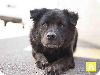 Phoenix, AZ - Chow Chow. Meet TEDDY BEAR, a dog for adoption. http://www.adoptapet.com/pet/16753875-phoenix-arizona-chow-chow