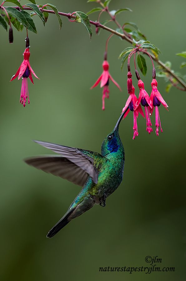 25 best ideas about Hummingbird flowers on Pinterest