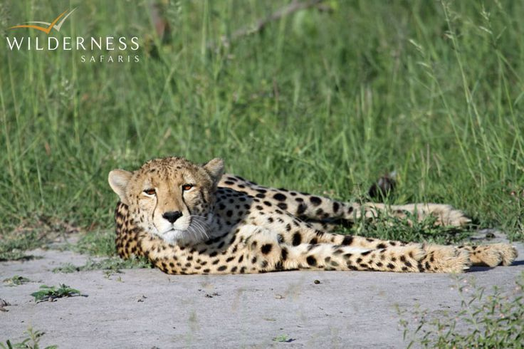 Kings Pool Camp - If one is lucky, you can even have great cheetah sightings too! #Safari #Africa #Botswana #WildernessSafaris