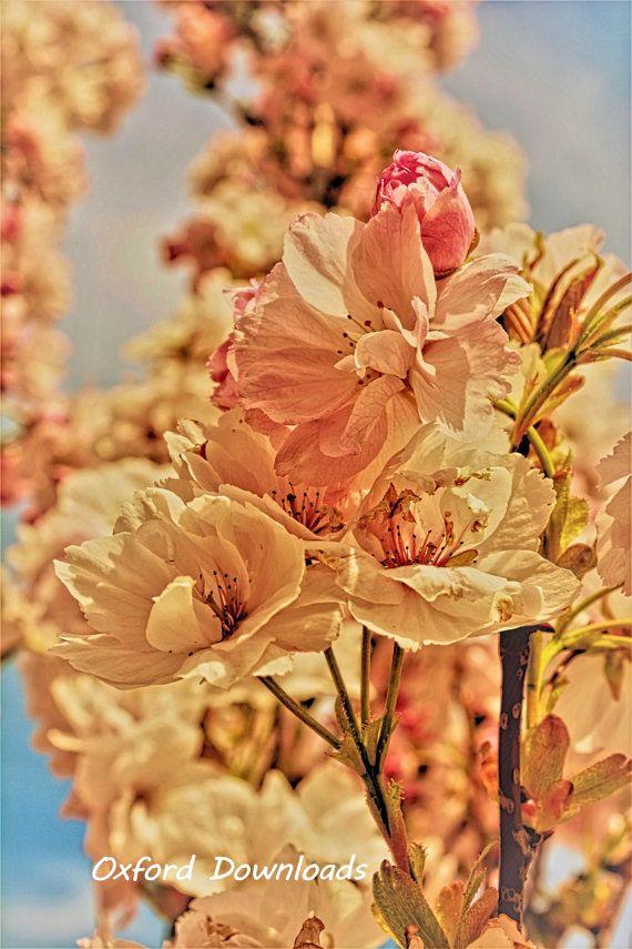 Spring Flowers Cherry BlossomCherry Blossom by OxfordDownloads