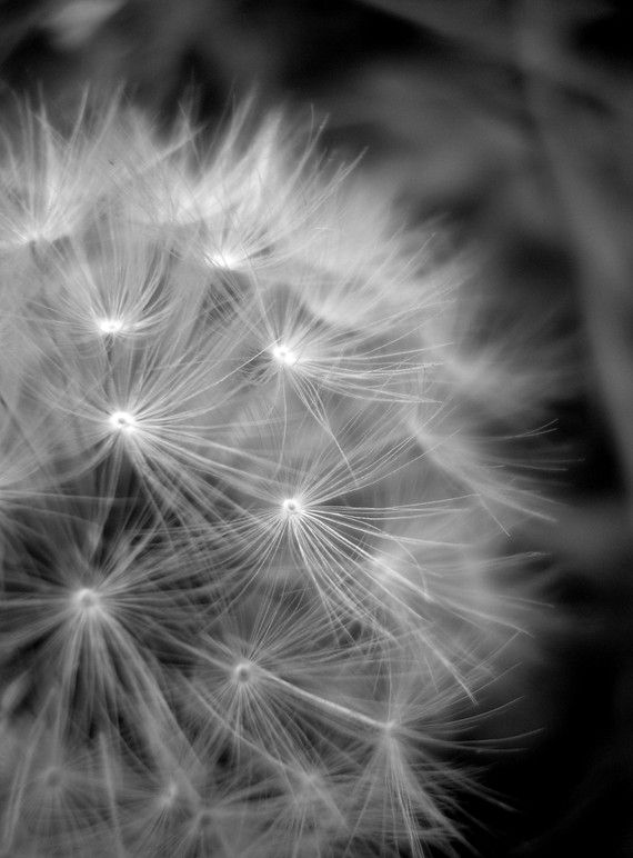Dandelion Black And White Photography  by VictoriaEnglishCharm