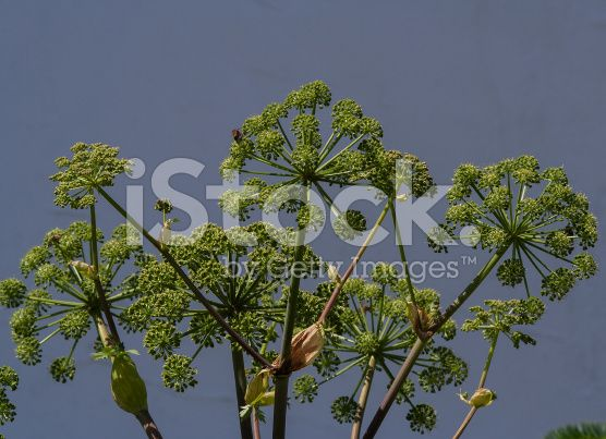 Kvanne  Angelica archangelica,lindesnes,norway royalty-free stock photo