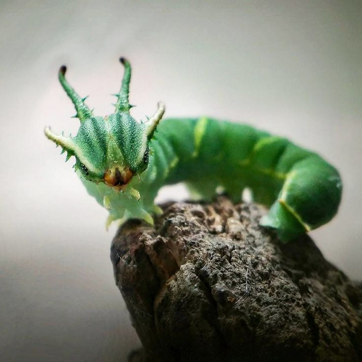 Image result for japanese emperor caterpillar