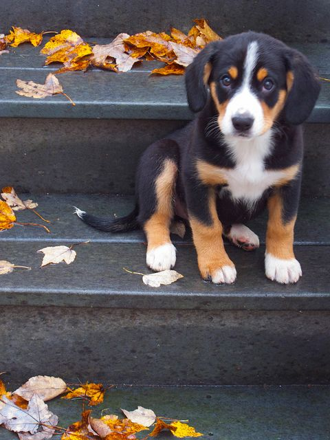 entlebucher mountain dog - I think this might be the other breed pippa's mixed with!