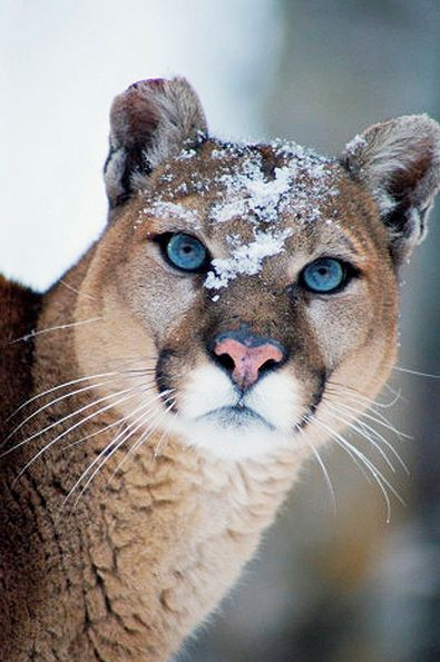Cougar blue eyes