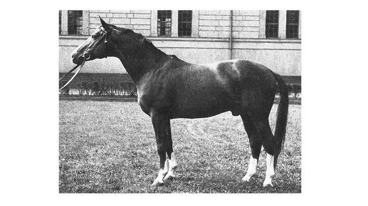 Abglanz - Abglanz was perhaps the most influential stallion of modern times in the Hanoverian breeding district, and his infusion of Trakehner lightness and 'blood' can be clearly seen in today's modern Hanoverian horse.