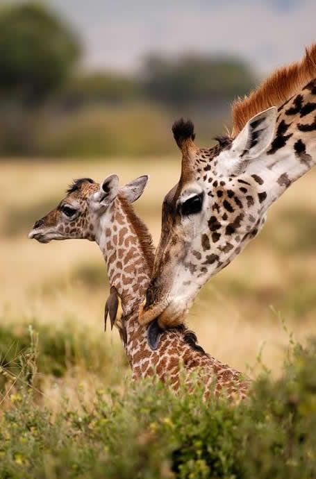 Giraffes in Africa..Someday I want to go there.