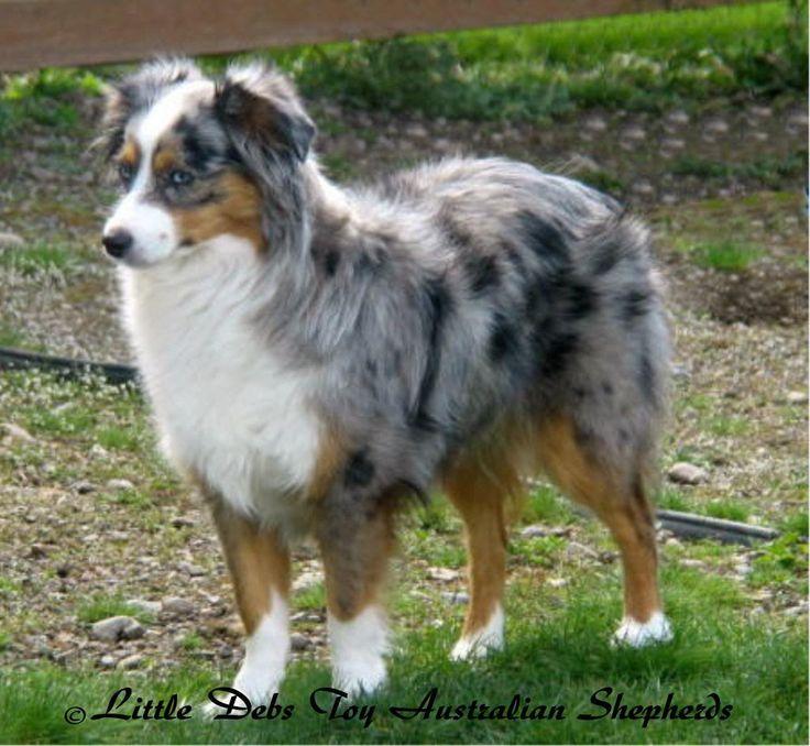 miniature australian shepherd | Blue merle! Så fint