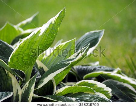 Variegated Hosta plant with green and white leaves - stock photo