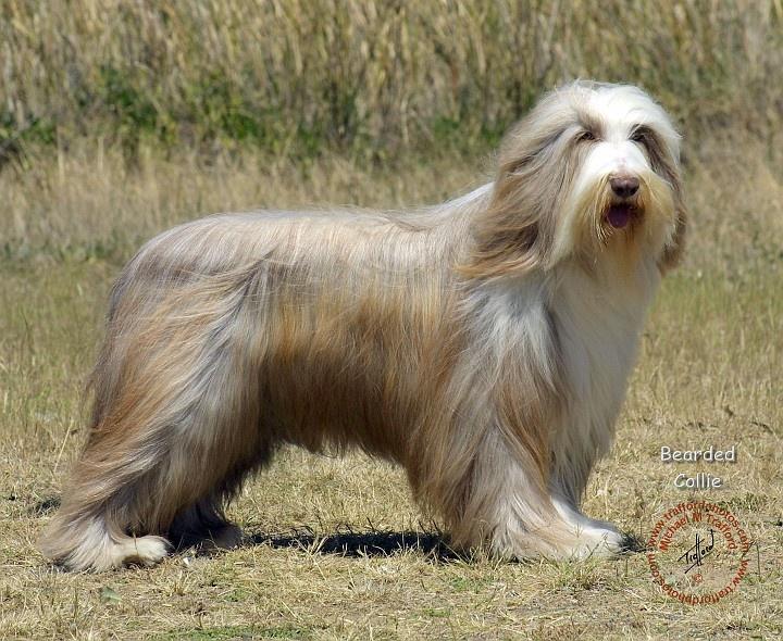 Gb Bearded Collie Fawn Dog Bearding Bearded Collie Unusual