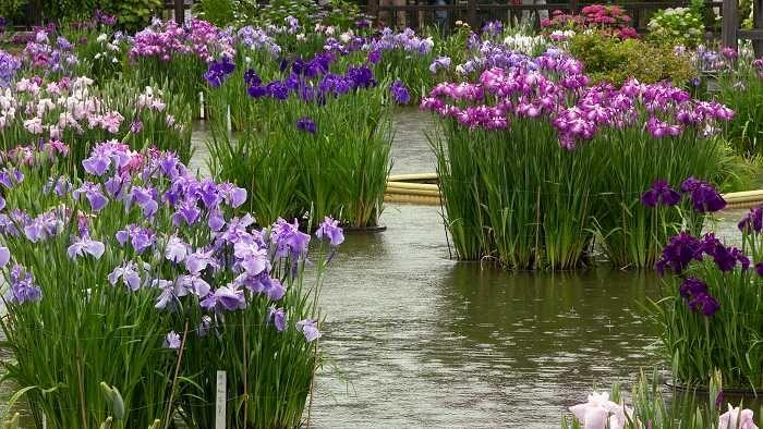 Shoubu show this japanese iris garden though far from for Flowers for japanese garden