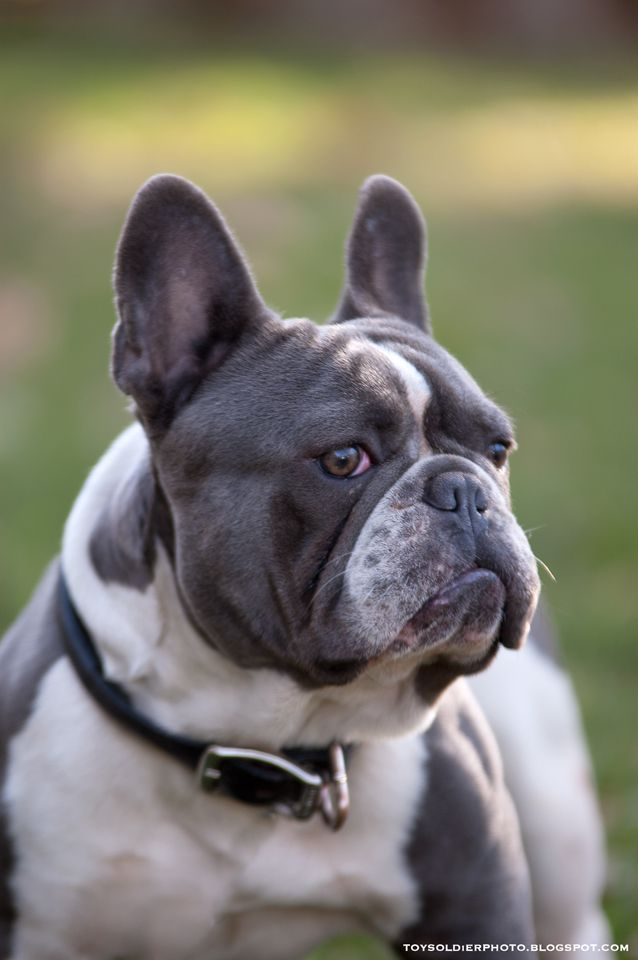 Handsome Older French Bulldog Blue French Bulldog French Bulldog