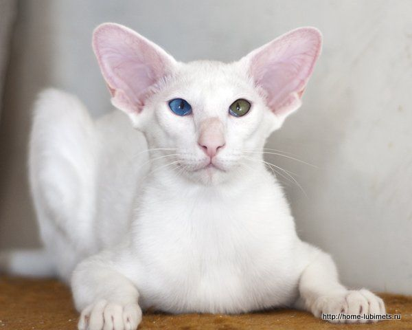 white cats - Поиск в Google