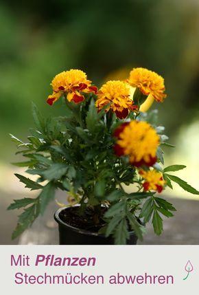 9 Pflanzen Die Gegen Mucken Helfen Tips U Trix Pinterest