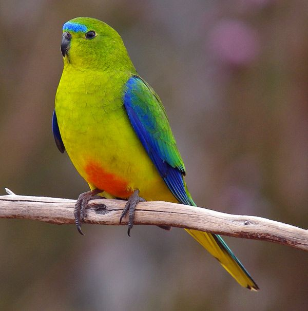 Orange-bellied parrot, one of the world's rarest birds. With a wild population of fewer than 50 birds, this iconic Australian parrot is critically endangered. They breed in Tasmania and migrate to Victoria and South Australia for the winter.