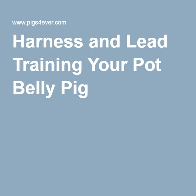 Harness and Lead Training Your Pot Belly Pig