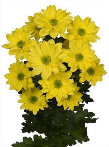 Хризантема кустовая Бакарди желт…..