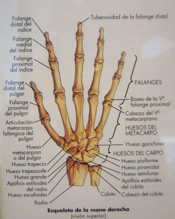 Esqueleto de la mano derecha (Visión superior) El esqueleto humano  1995-2003  Col. Patrimoni del Cercle artístic Sant Lluc  Exposició: El Traç (Arts Santa Mònica)
