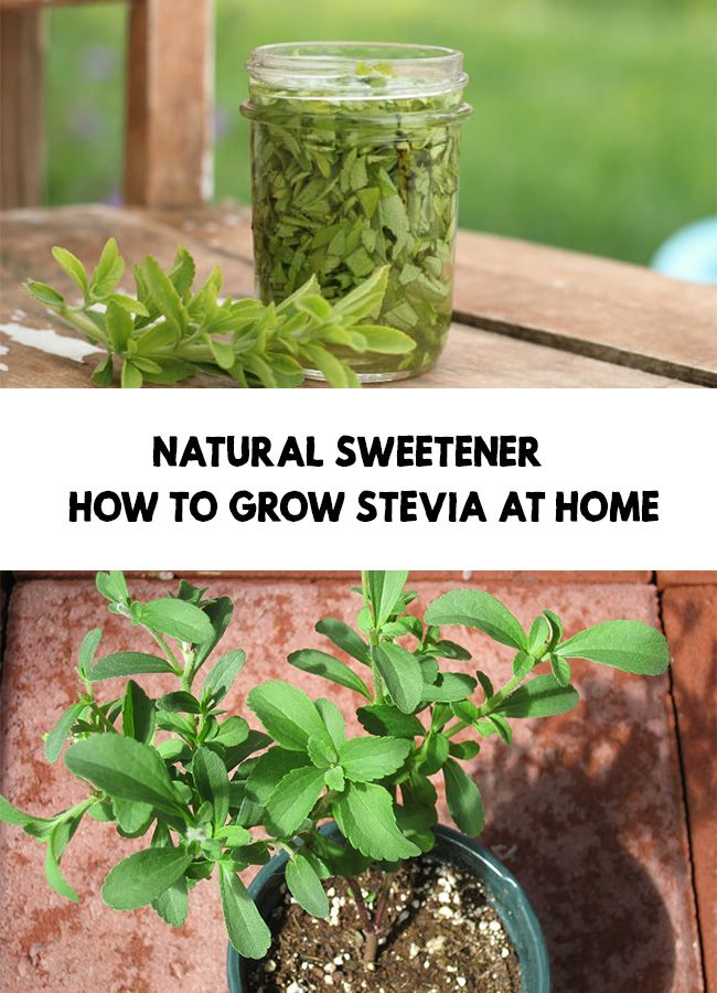 Natural Sweetener How To Grow Stevia At Home Growing Stevia Stevia Natural Sweeteners