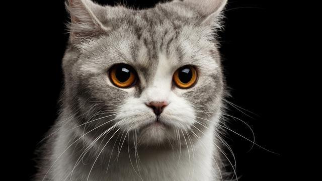 Download Mp3 Suara Kucing Mengeong Banyak Pilihan Suara Suara Kucing Berantem Suara Kucing Betina Suara Kucing Jantan Suara Kucing Betina Kucing Macan Dahan