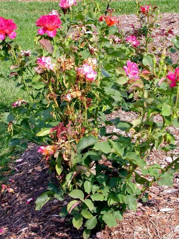 Rose Rosette disease symptoms causes treatments.
