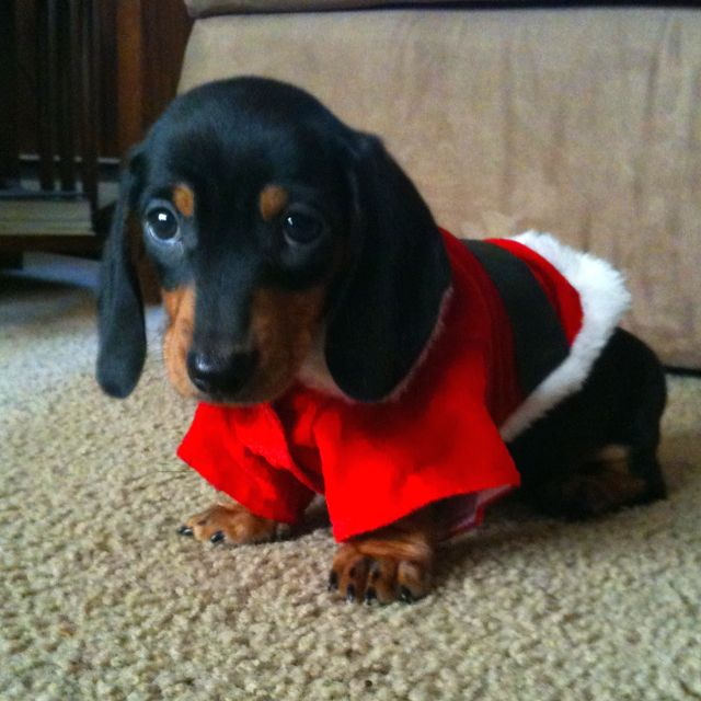 Look what Santa brought for Christmas a doxie puppy.... Guinness when he was puppy